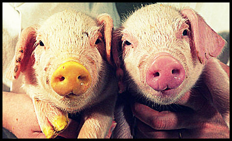 genetic-modified-piglets